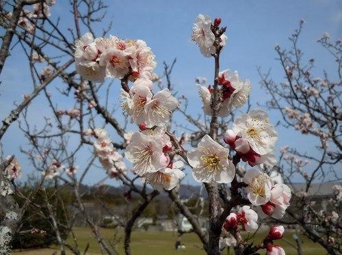 暖かな日、梅満開の公園で_b0102572_10062086.jpg