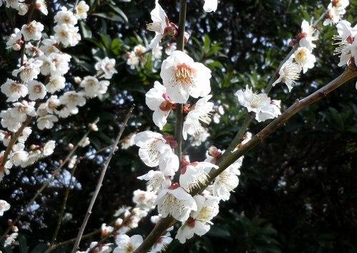 暖かな日、梅満開の公園で_b0102572_10071121.jpg