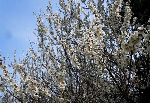 暖かな日、梅満開の公園で_b0102572_10074147.jpg