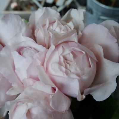 オークリーフ(今日のお店の花。明日の営業につきまして。)_f0049672_18225578.jpg