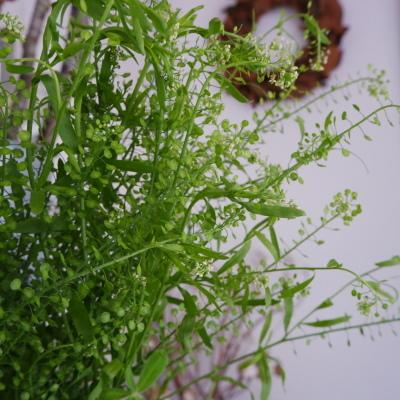 オークリーフ(今日のお店の花。明日の営業につきまして。)_f0049672_18234459.jpg