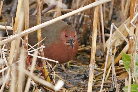 ★クイナ類が見られました・・・先週末の鳥類園(2020.2.29~3.1)_e0046474_17574084.jpg