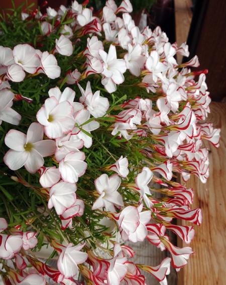 猫部屋で咲くデンドロさん、雪の中で咲くスノードロップなど♪_a0136293_15032988.jpg