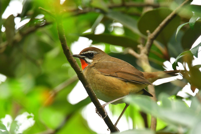 ノゴマ 奄美大島:与路島の野鳥 ⑦_e0362696_16420375.jpg