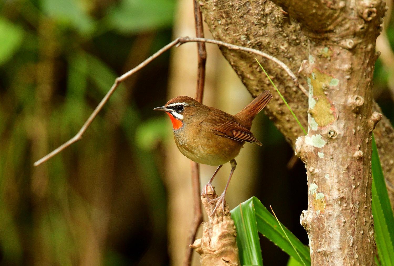 ノゴマ 奄美大島:与路島の野鳥 ⑦_e0362696_16421069.jpg