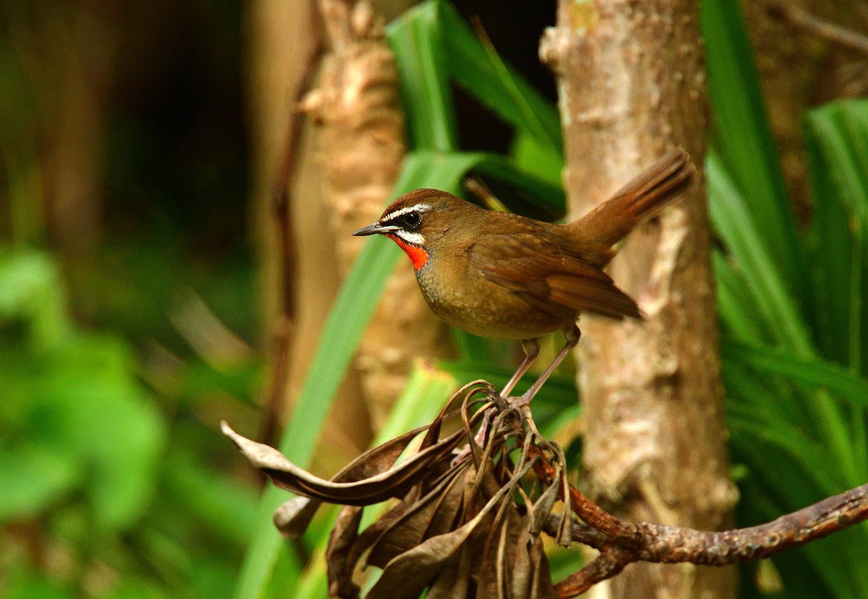 ノゴマ 奄美大島:与路島の野鳥 ⑦_e0362696_16421532.jpg