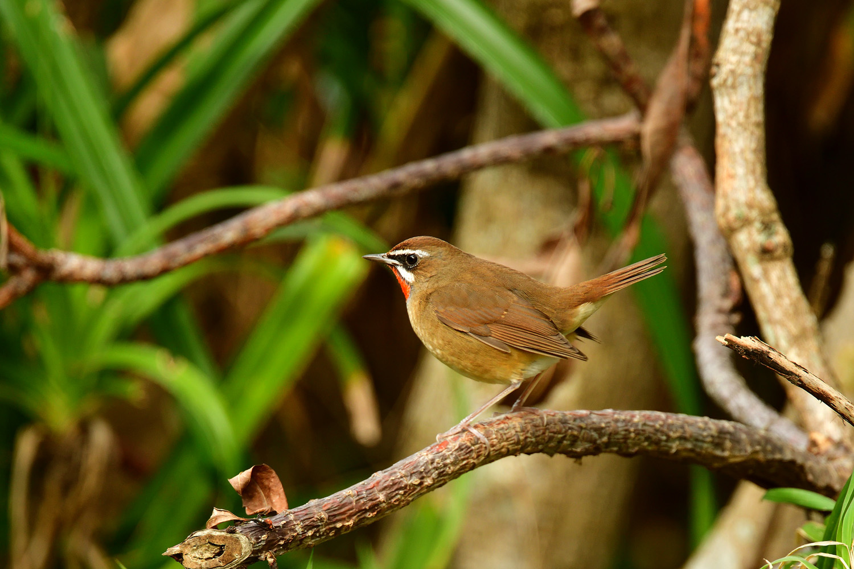 ノゴマ 奄美大島:与路島の野鳥 ⑦_e0362696_16422692.jpg