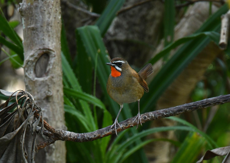 ノゴマ 奄美大島:与路島の野鳥 ⑦_e0362696_16423155.jpg