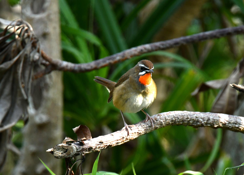ノゴマ 奄美大島:与路島の野鳥 ⑦_e0362696_16423644.jpg
