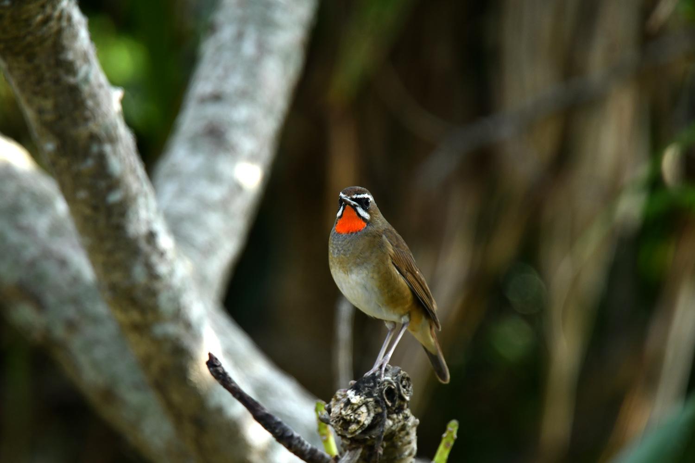 ノゴマ 奄美大島:与路島の野鳥 ⑦_e0362696_16424341.jpg