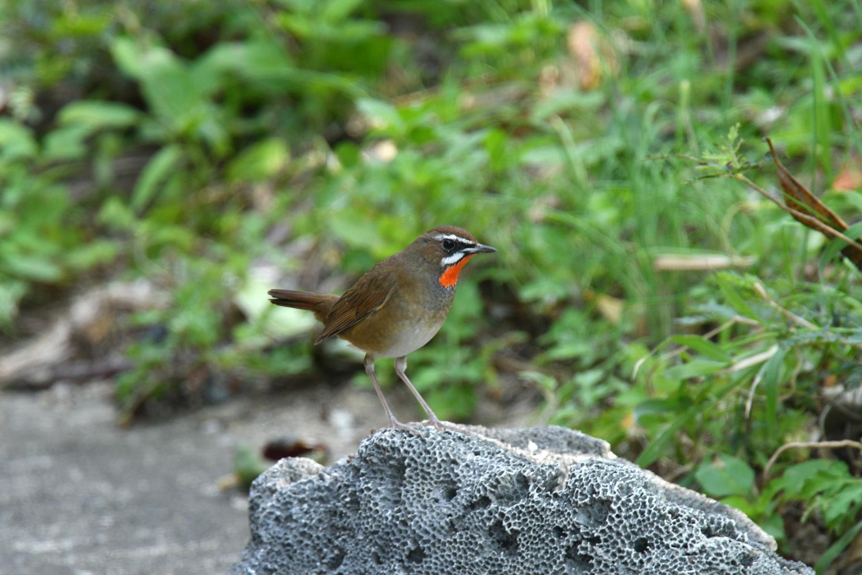 ノゴマ 奄美大島:与路島の野鳥 ⑦_e0362696_16425181.jpg