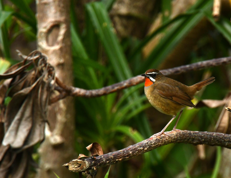 ノゴマ 奄美大島:与路島の野鳥 ⑦_e0362696_16430609.jpg
