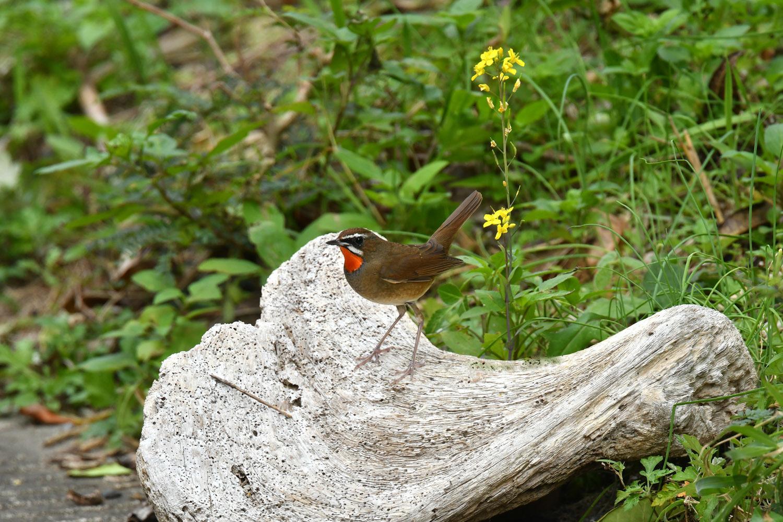 ノゴマ 奄美大島:与路島の野鳥 ⑦_e0362696_16432243.jpg