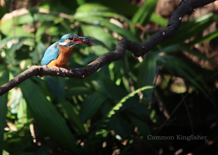 カワセミ:Common kingfisher_b0249597_06512411.jpg
