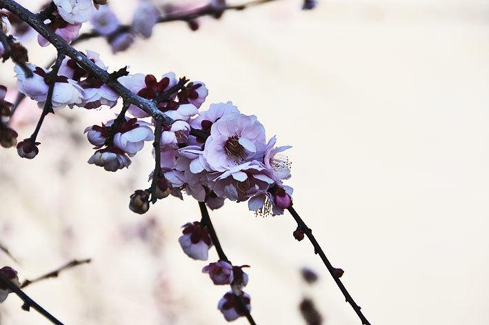 2020.03.03 梅と早咲きの桜_c0016718_17033887.jpg
