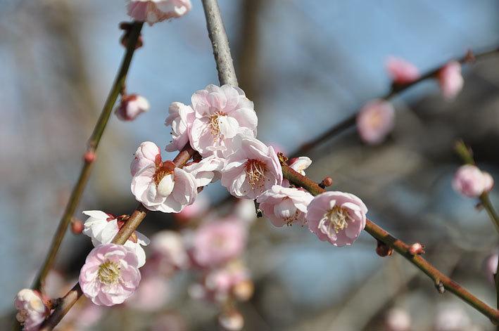 2020.03.03 梅と早咲きの桜_c0016718_17040923.jpg