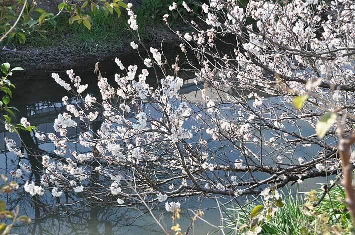 2020.03.03 梅と早咲きの桜_c0016718_17041373.jpg