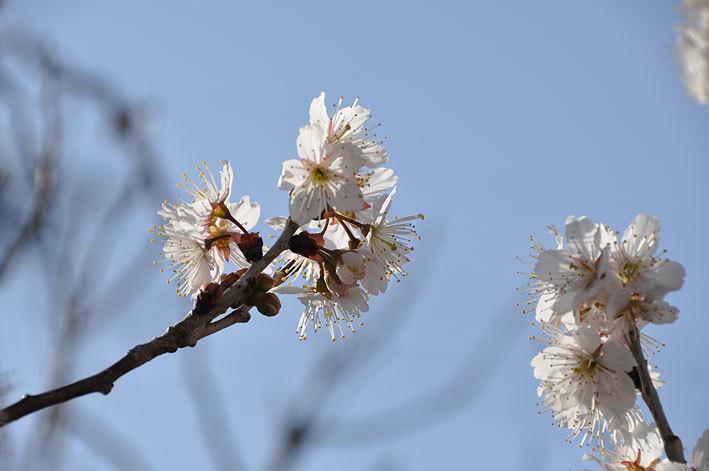 2020.03.03 梅と早咲きの桜_c0016718_17105206.jpg