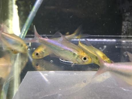 200305 熱帯魚 めだか 金魚 水草_f0189122_18555387.jpeg