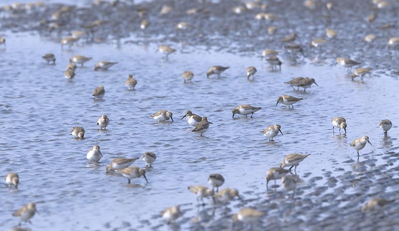 渚に群れるハマシギ_c0042548_10010283.jpg