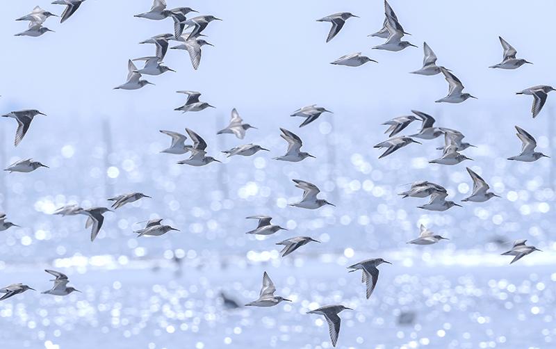 渚に群れるハマシギ_c0042548_10011244.jpg