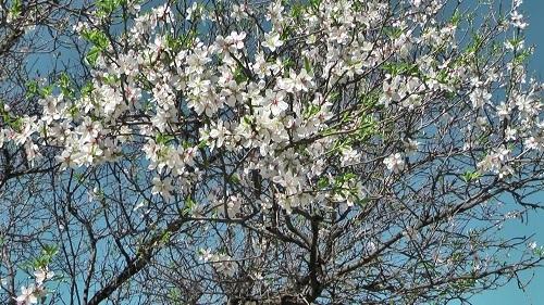 アーモンドの花を見に行った!_f0037264_19201866.jpg