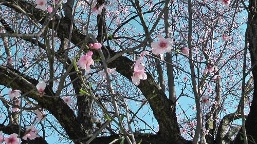 アーモンドの花を見に行った!_f0037264_19422671.jpg