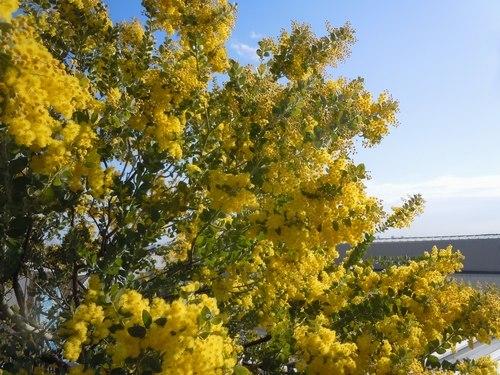 路傍の花、樹々の鳥(372) ~ 伊丹空港のミモザが満開だ ~_b0102572_17331203.jpg