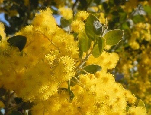 路傍の花、樹々の鳥(372) ~ 伊丹空港のミモザが満開だ ~_b0102572_17334510.jpg