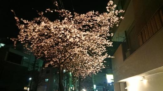 桜満開!_b0117476_08534765.jpg
