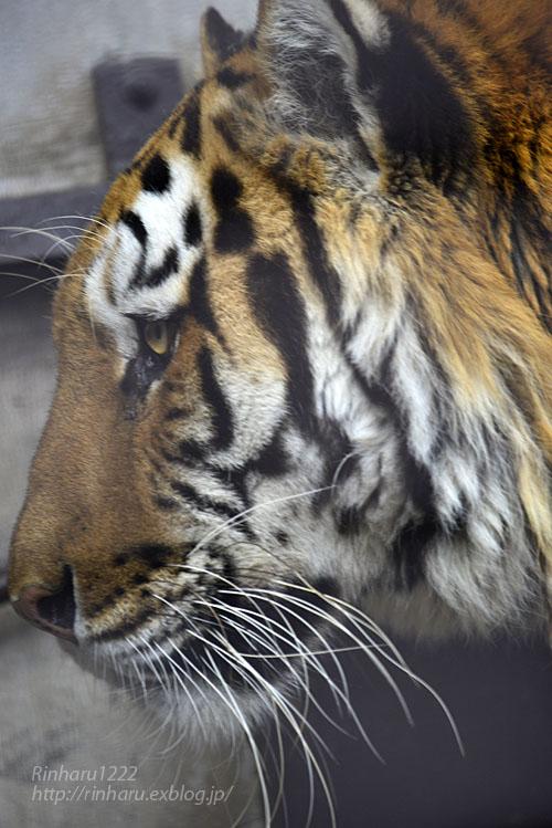 2020.2.29 宇都宮動物園☆アムールトラのルイくん【Amur tiger】_f0250322_19492126.jpg