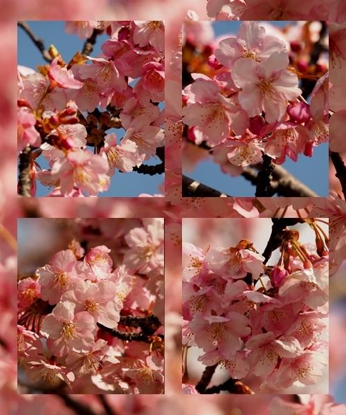 河津桜満開_c0026824_17162575.jpg