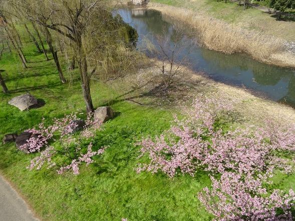 山田池公園の河津桜・満開_b0299042_11075835.jpg