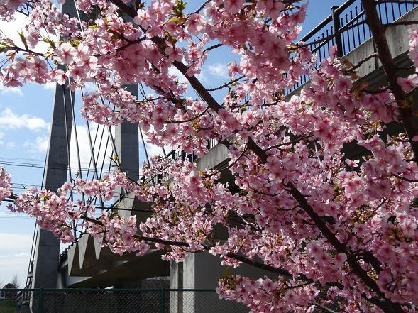 山田池公園の河津桜・満開_b0299042_11085136.jpg