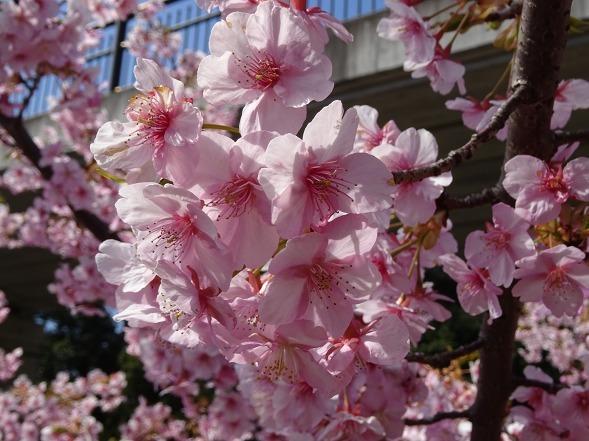 山田池公園の河津桜・満開_b0299042_11085605.jpg