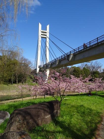 山田池公園の河津桜・満開_b0299042_11104606.jpg