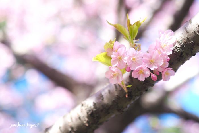 カワヅザクラ_e0268051_11180391.jpg