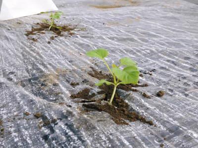 肥後グリーン 熊本産高級マスクメロン『肥後グリーン』2018年の定植直後の様子と苗床で育つ次の苗たち_a0254656_16403566.jpg