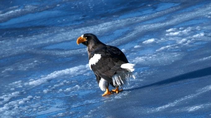 流氷観光の雄姿 オオワシ_d0001157_16254303.jpg