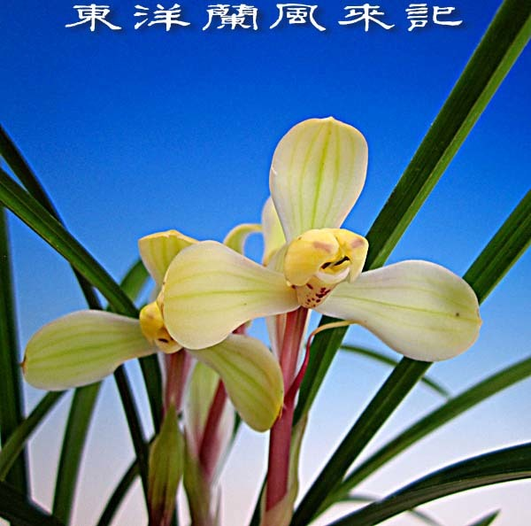 中国蘭「明梅」                       No.2013_d0103457_22542997.jpg