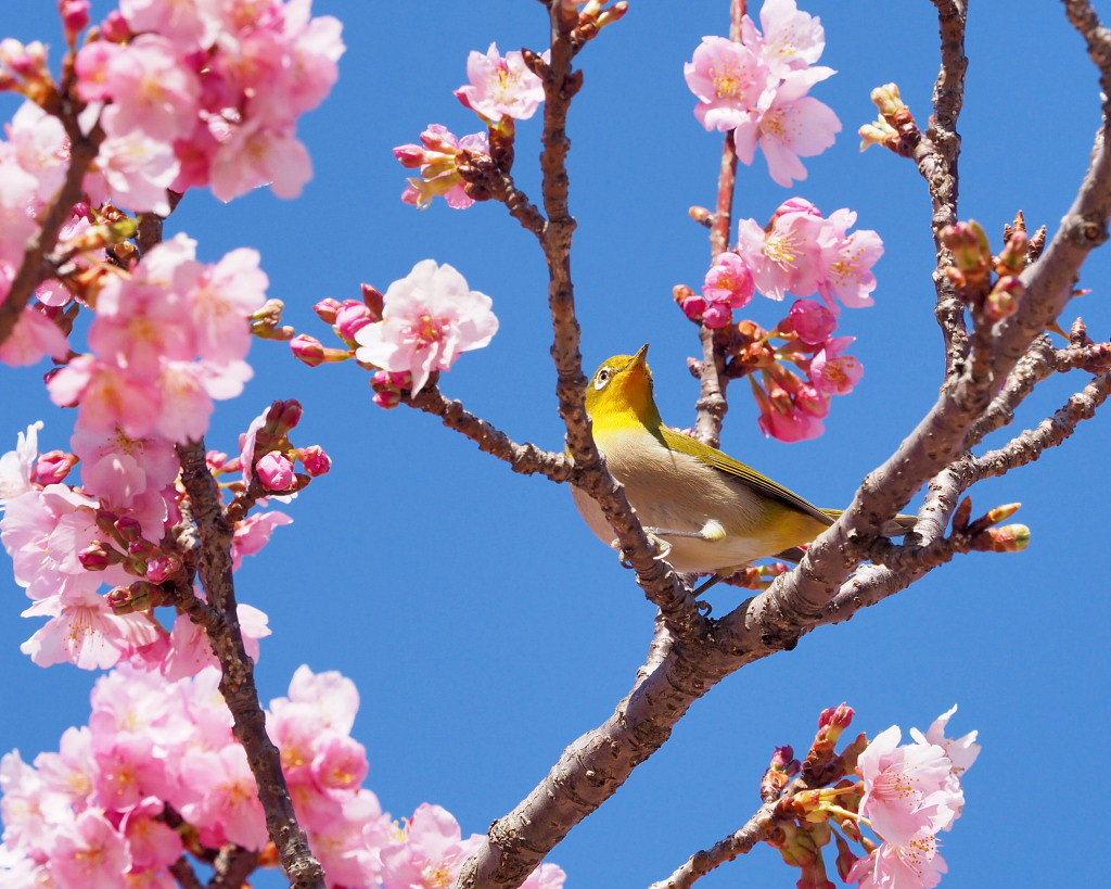 桜咲く 🌸いせさき市民のもり公園で🌸_c0305565_17431569.jpg