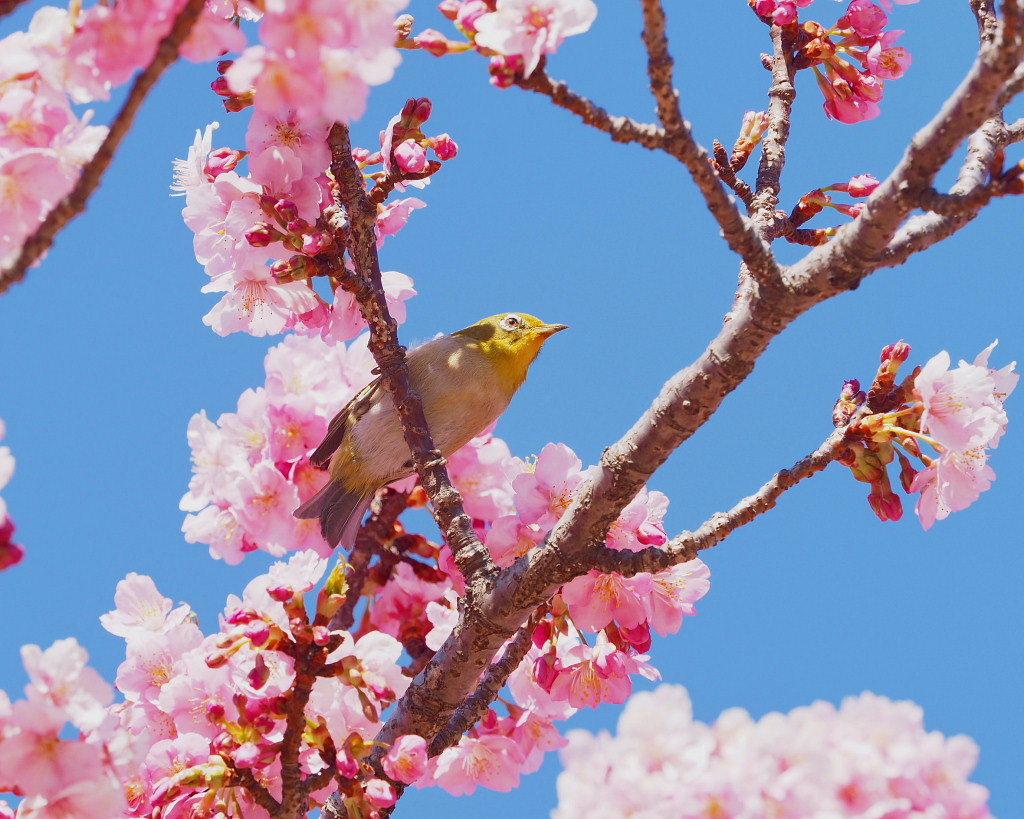 桜咲く 🌸いせさき市民のもり公園で🌸_c0305565_17434459.jpg