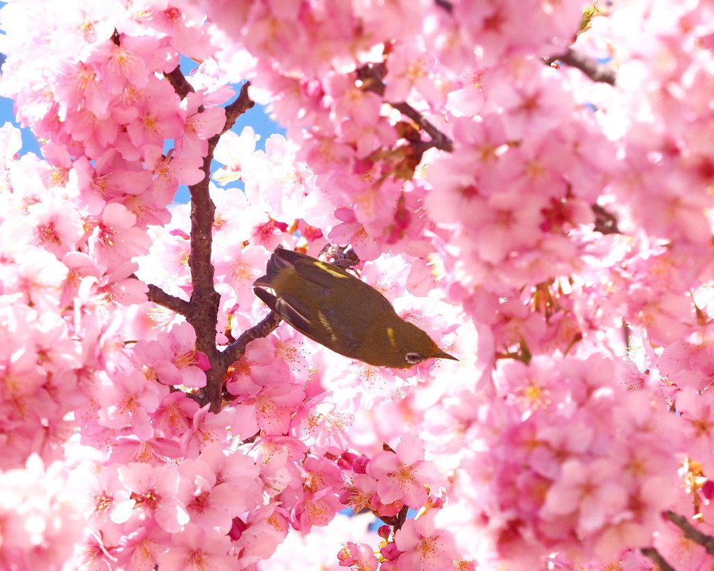 桜咲く 🌸いせさき市民のもり公園で🌸_c0305565_17445274.jpg