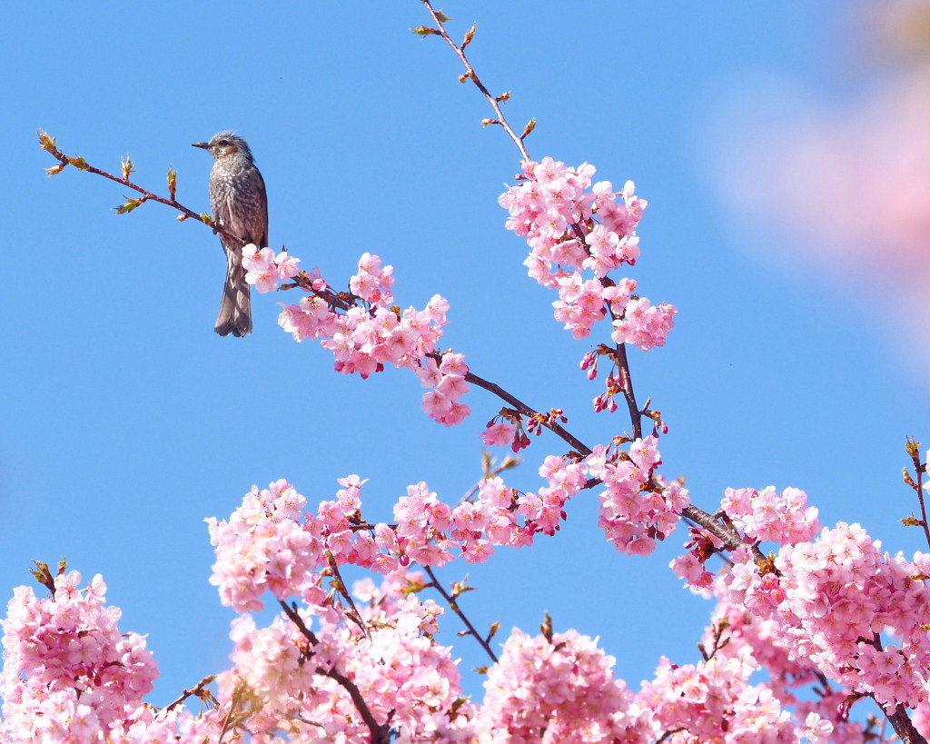 桜咲く 🌸いせさき市民のもり公園で🌸_c0305565_17455097.jpg