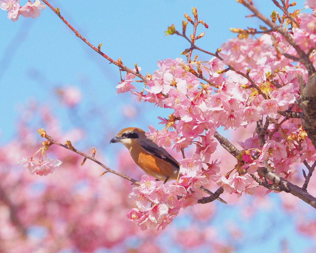 桜咲く 🌸いせさき市民のもり公園で🌸_c0305565_17472627.jpg
