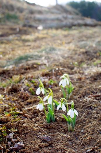 スノードロップの花と、エキナセアの発芽_c0110869_19073501.jpg