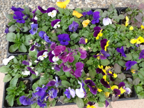 名古屋港水族館前花壇の植栽R2.3.4_d0338682_13002344.jpg