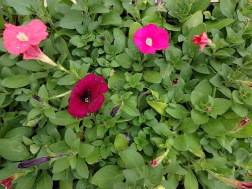 名古屋港水族館前花壇の植栽R2.3.4_d0338682_13005706.jpg