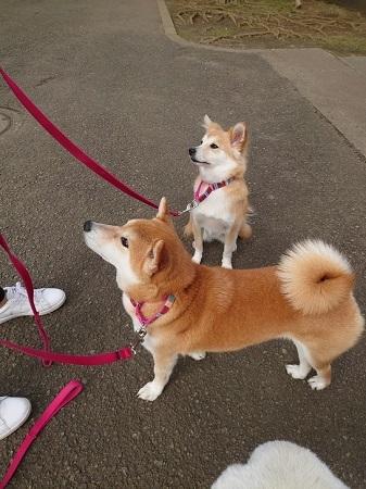サーシャ、お散歩レッスンに参加!_c0337990_21085484.jpg