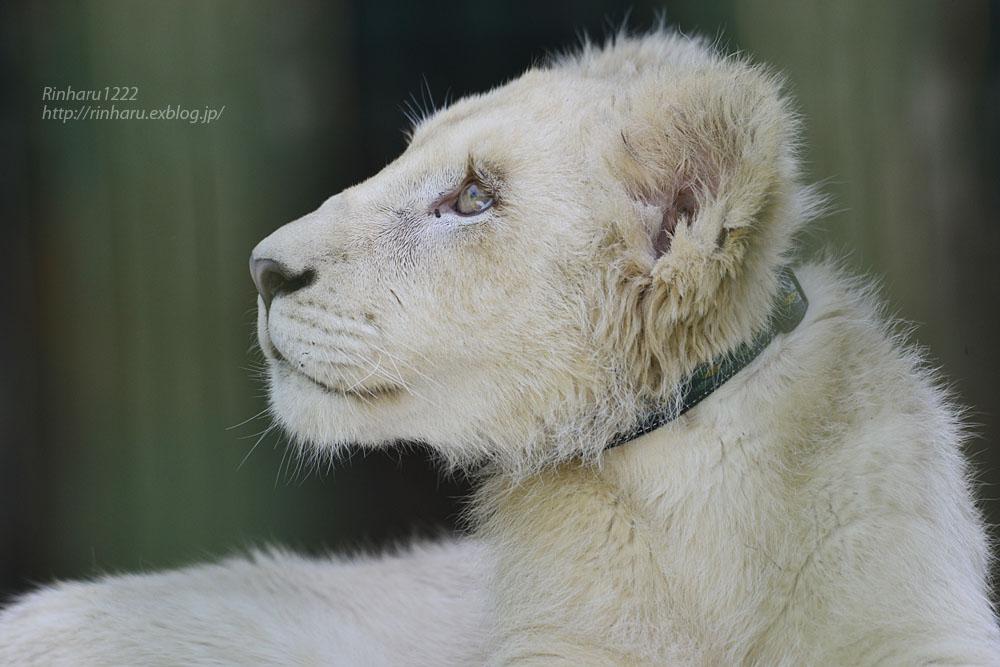 2018.6.2 東北サファリパーク☆ホワイトライオンのひふみたん【White lion】<前編>_f0250322_2115630.jpg